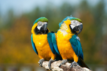 blue and yellow macaws (Ara ararauna)