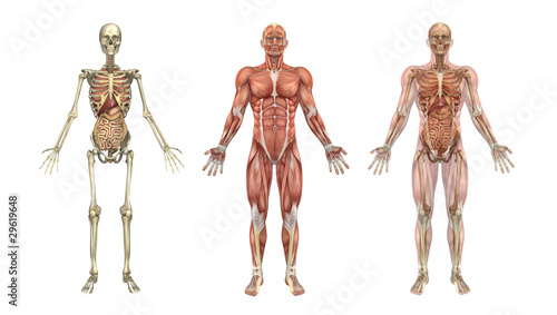 Anatomical Overlays with Internal Organs