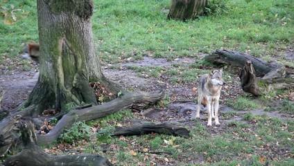 Wolf 5089