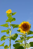 Sunflowers have always come in different sizes poster