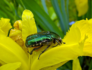The Flower Chafer on a yellow flower