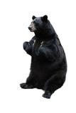 Fototapety black bear isolated on white