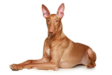 Pharaoh hound lying on a white background