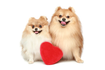 Couple in love Spitz puppies on white background