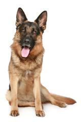 German Shepherd dog sitting on a white background
