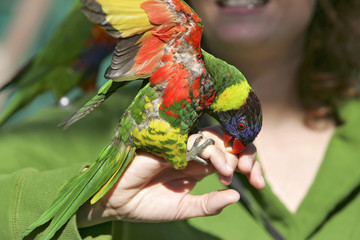 colorful lorikeet on hand