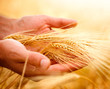 Wheat ears in the hands. Harvest concept