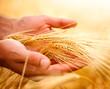 Leinwandbild Motiv Wheat ears in the hands. Harvest concept