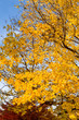 Bunch Yellow Autumn Maple Leaves Tree