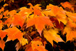 Full Frame Bunch Orange Autumn Maple Leaves Tree