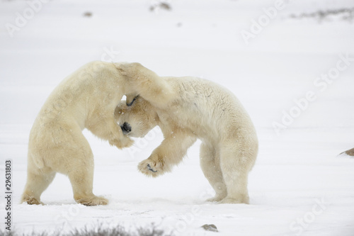Foto op Canvas Natuur Fight of polar bears.