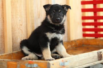 German Shepherd Puppy on Wagon