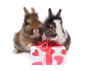 two rabbit with present