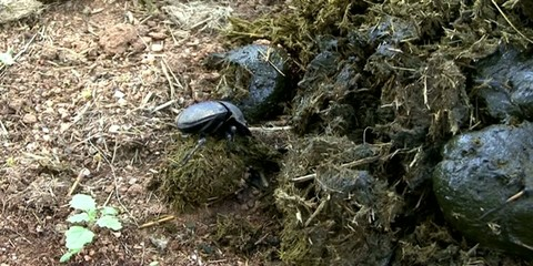 Dung beetle making dung ball from fresh manure