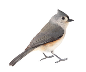Tufted Titmouse, Baeolophus bicolor, Isolated