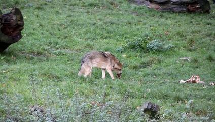 Wolf 5093