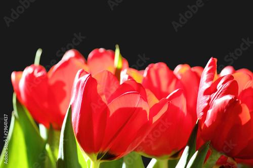 Fototapeten,tulpe,tulpe,hintergrund,rot