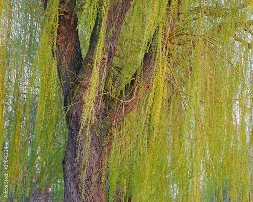 Blooming weeping willow tree