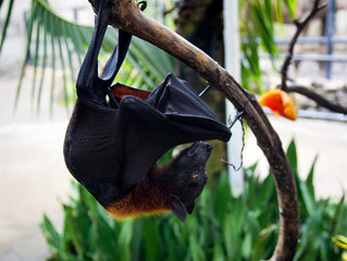 Flying fox hangs on a tree branch