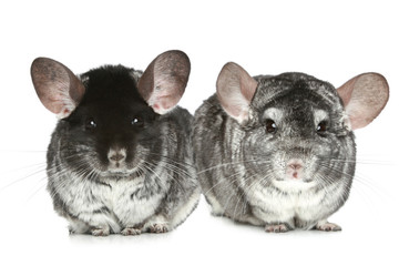 two grey chinchillas on a white background