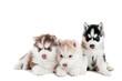Three Siberian husky puppy isolated
