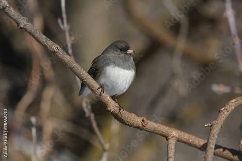 Dark-eyed Junco hyemalis