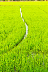 green young rice
