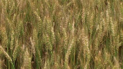 Traveling Through Wheat Field 02