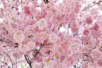Sanft leuchtende Kirschblüten am Baum