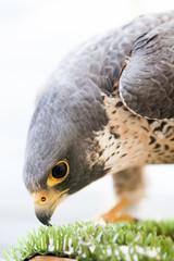 Hawk head and cristal eye