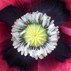 Dew-laden Poppy stamens