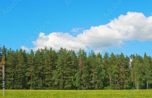 Dense wall of forest trees