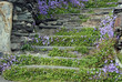 Campanula on stone steps behind Barmouth, North Wales