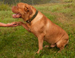 Friendly trained obedient French Mastiff gives his paw to master