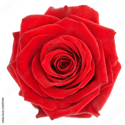 Red rose isolated on white, clipping path included