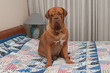 Dogue De Bordeaux sitting on the bed with blue patchwork quilt