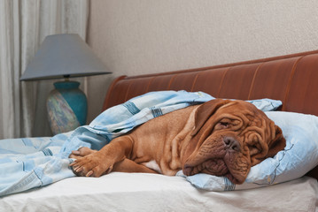 French Mastiff Sleeping Sweetly in the Bed with White Sheets