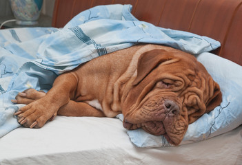 Dogue De Bordeaux Dog Sleeping Sweetly in Comfortable Bed
