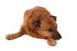 brauner Hund Mischling liegend