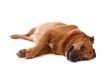 brauner Hund Mischling liegend rechts