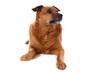 brauner Hund Mischling rechts schauend