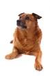 brauner Hund Mischling links schauend