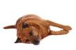brauner Hund Mischling liegend links