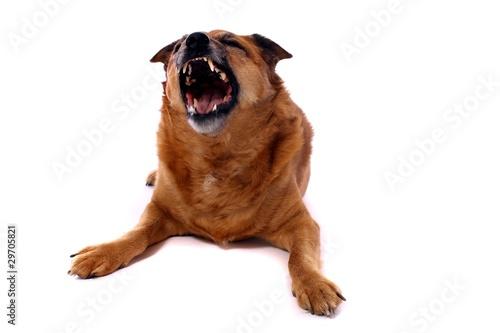 brauner Hund Mischling zeigt Zähne