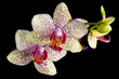 Blooming orchid plant isolated on black background