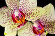 Macro of blooming orchid plant isolated on black background