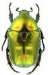 Protaetia affinis