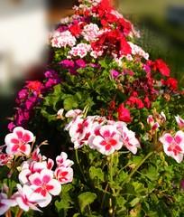 Balkonblumen: Pelargonien
