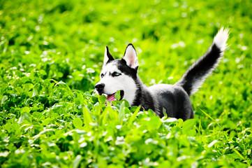 Husky running across green grass