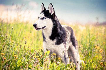Husky standing in the middle of green grass